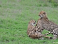 cheetah-with-cub