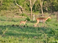 first-baby-impalas-for-the-season