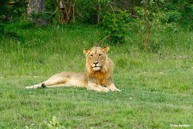 young-styx-male-lion-dries-jordaan