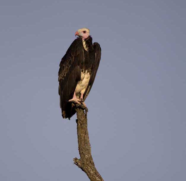 Male white-headed vulture - Ryan Johnston