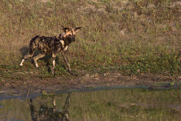 Wild dog with crocodile - Ryan Johnston
