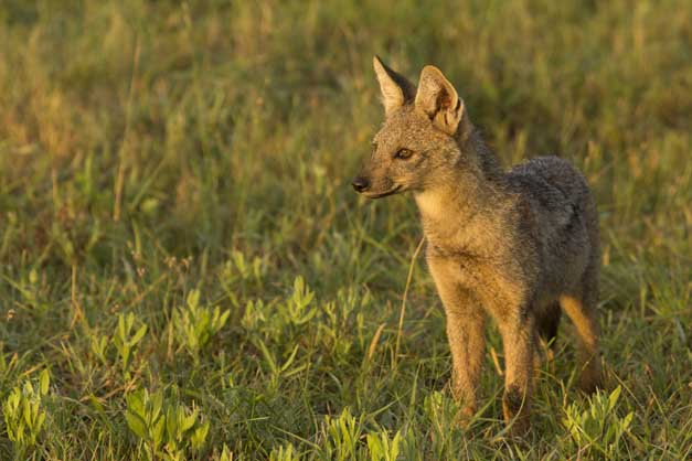 Side-striped Jackal pup - Ryan Johnston