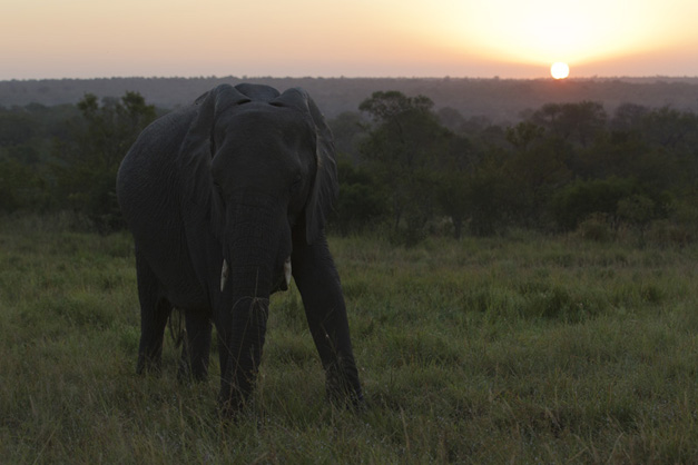 Elephant at sunrise - Robin Hester