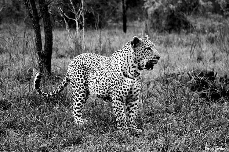 Mvula-the-leopard-Dries-Jordaan2
