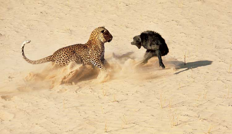 Leopard-and-baboon