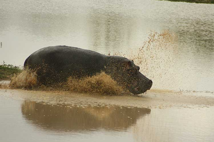 Hippo into icy water