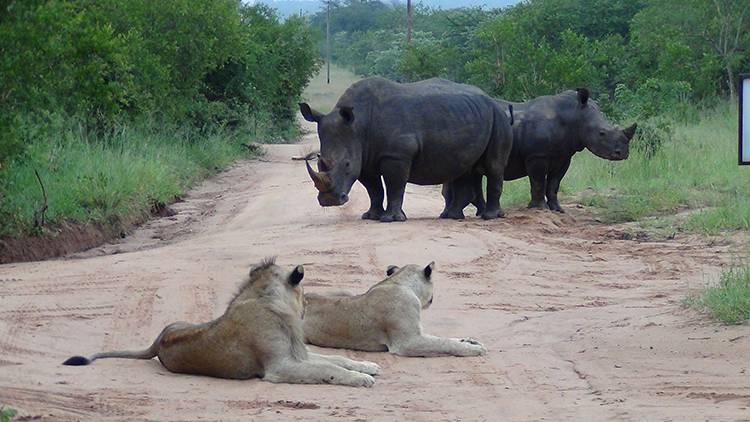 Lion and rhino interaction on drive at Arathusa