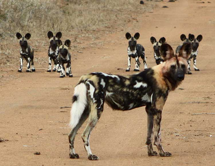 COVER-A wild dog and pups at Arathusa
