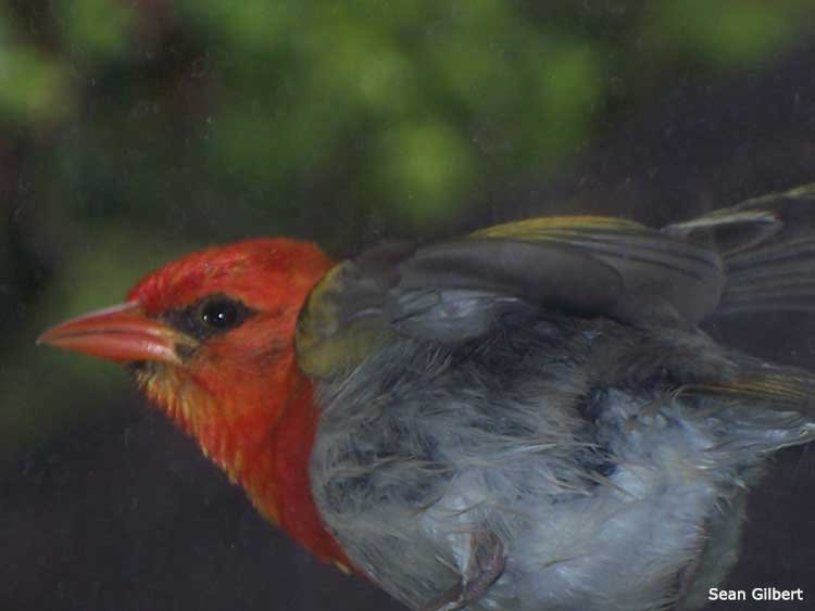 COVER-The-red-headed-weaver