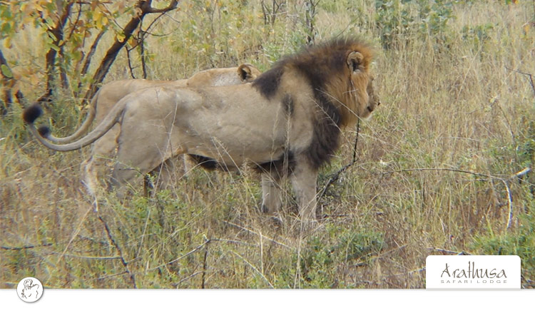 Mating-lions-4