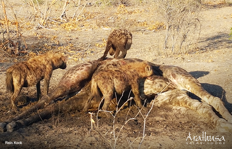 Hyenas at Arathusa