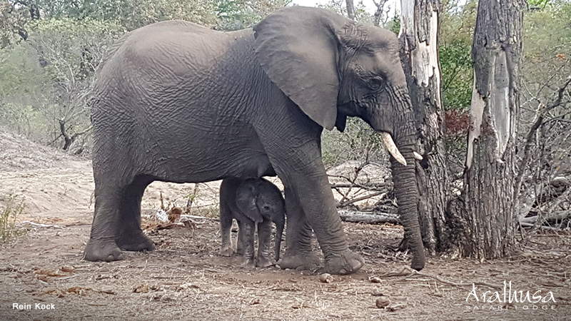 Elephant mother & calf at Arathusa