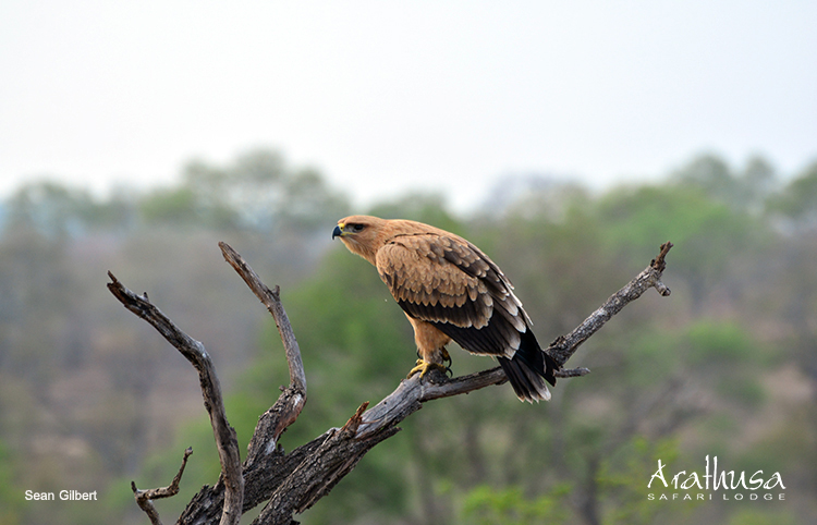 Light-Tawny-eagle
