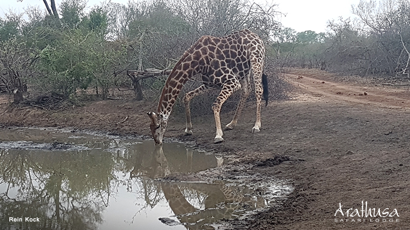 Giraffe drinking water at Arathusa