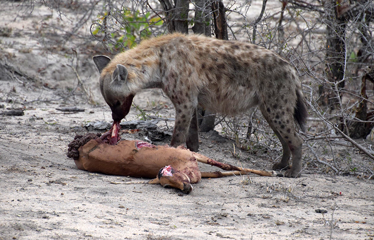 Hyena at Arathusa